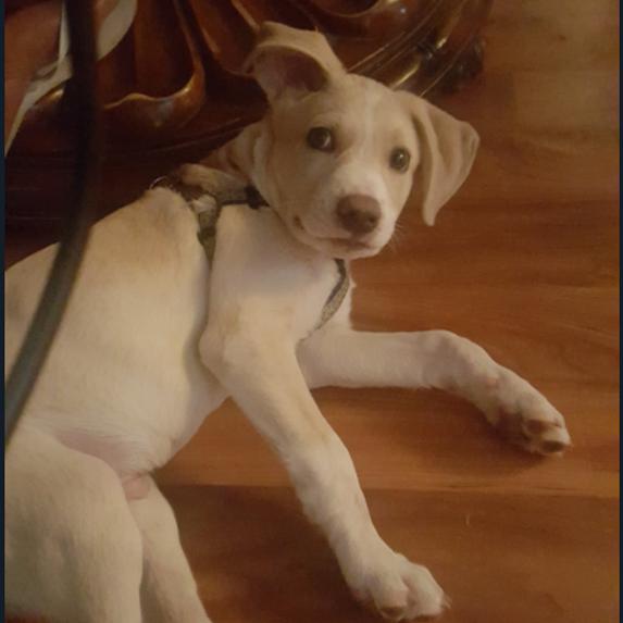 Labsky mixed breed dog