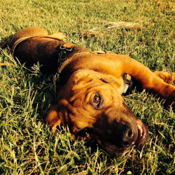 Sharp Asset (or Ba-Shar) mixed breed dog