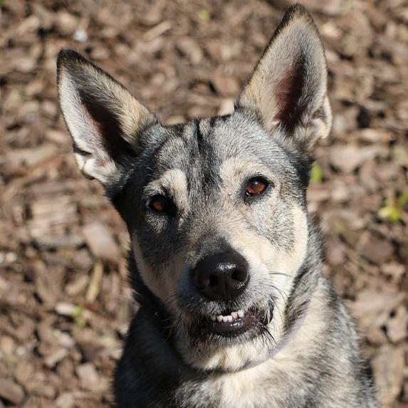Gerberian Shepsky mixed breed dog