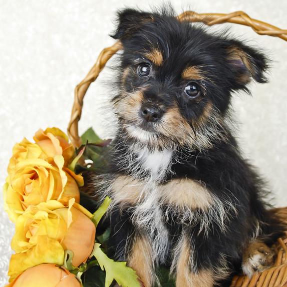 Cute Yorkie-Pom Puppy