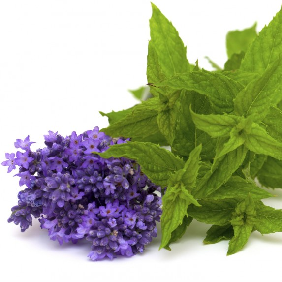 Bunches of lavender and mint