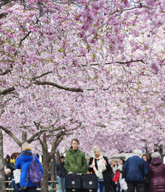 A crowd of locals and tourists walk beneath a vast canopy of cherry blossom trees in full bloom in Stockholm, Sweden