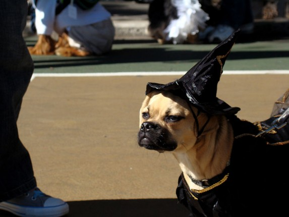 dog dressed as a witch
