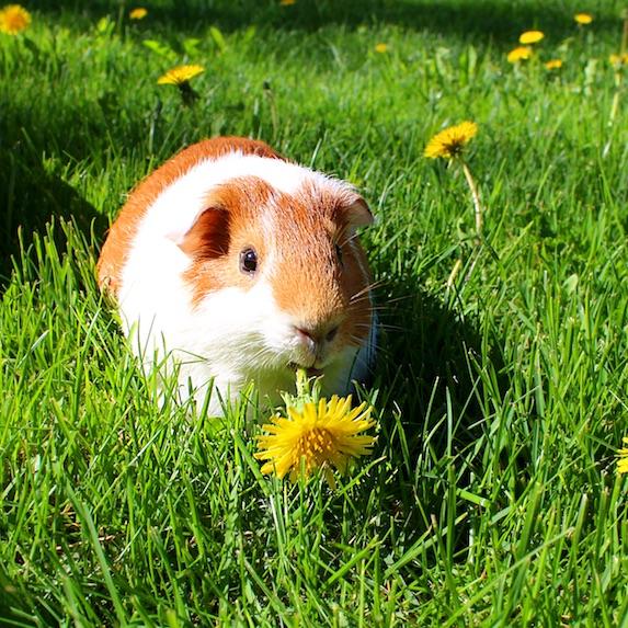 Guinea Pig Lifespan
