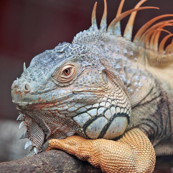Lizard Lifespan