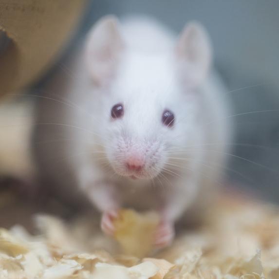 Mouse Lifespan