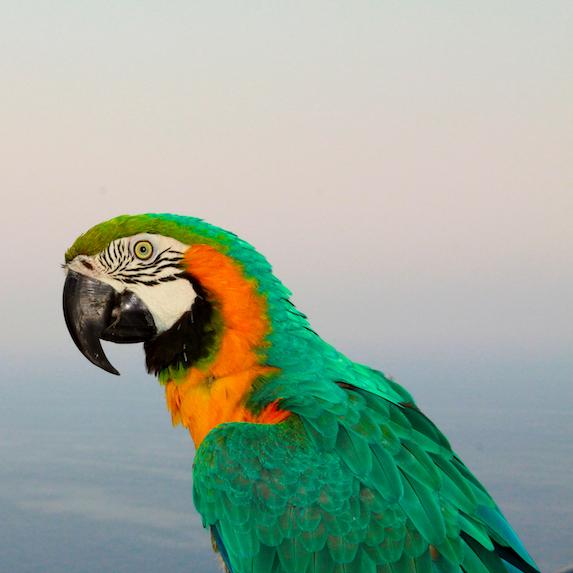 Parrot Lifespan