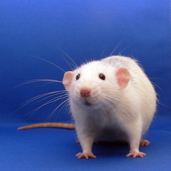 Rat Lifespan
