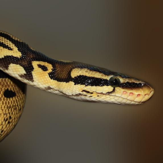 Snake Lifespan