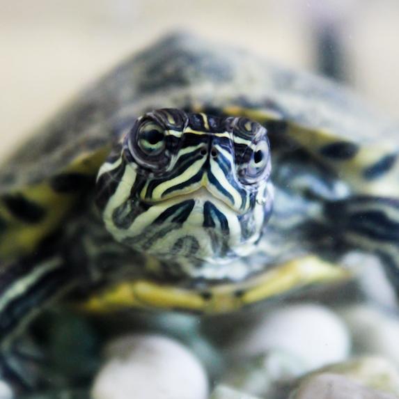 turtle lifespan