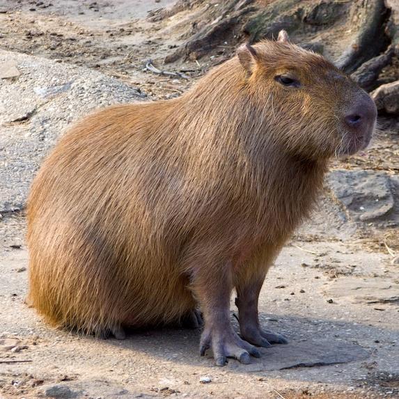 Capybara hanging out