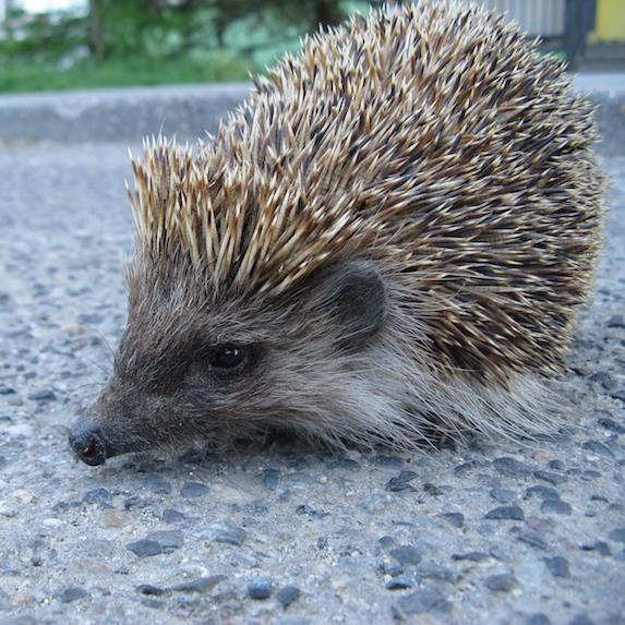 cute hedgehog in yard