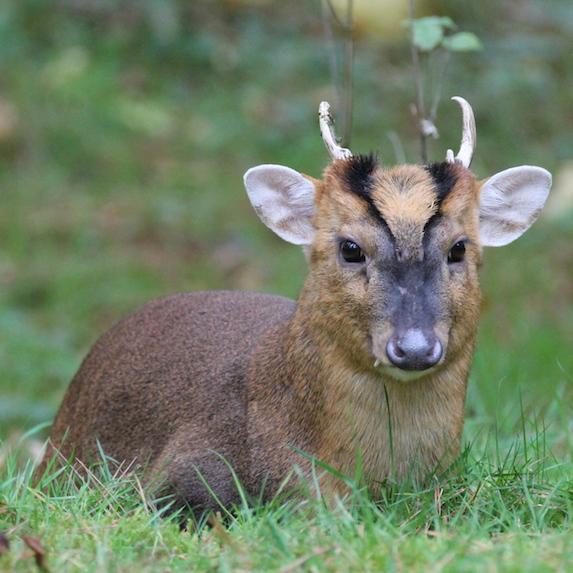 Muntjac Deer sitting in tall grass