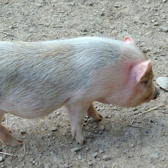 adorable pot bellied pig