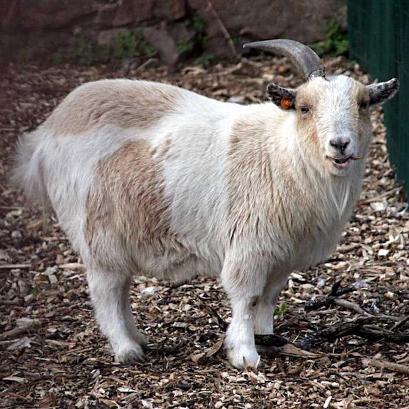 Pygmy Goat in pen