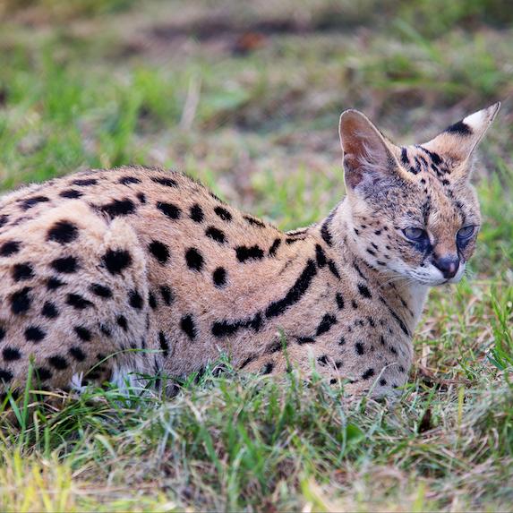 serval cat in grass