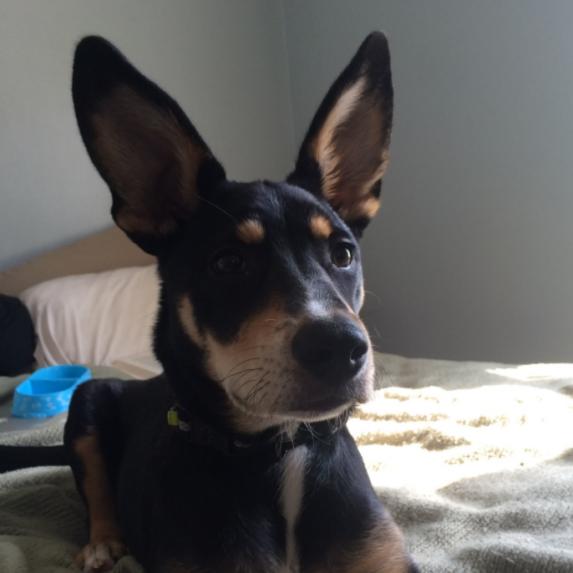 Beagle and German Shepherd Mix
