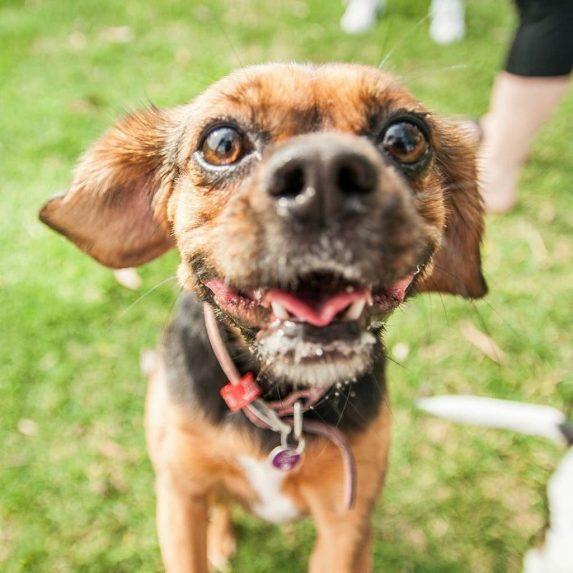 Beaglier mixed breed dog