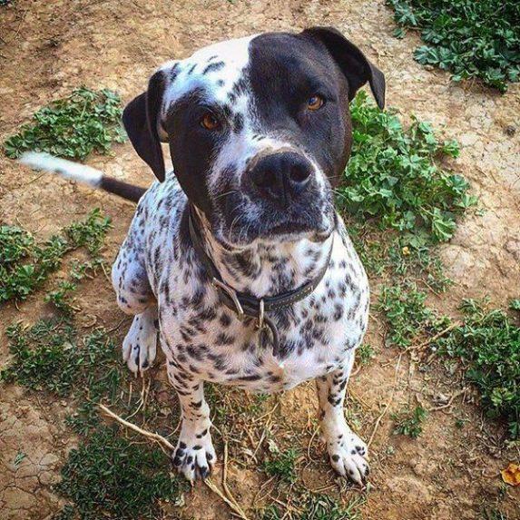 Bullmation mixed breed dog