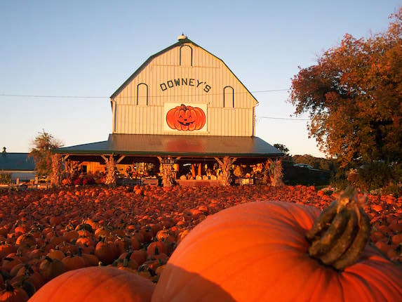 An image taken at sunset of the many pumpkins on the patch at Downey's Farm in Caledon, Ontario