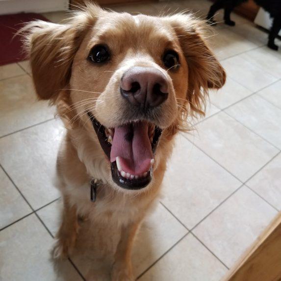 Golden Cocker Retriever mixed breed dog