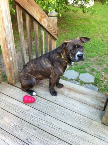 Pitt Plott mixed breed dog