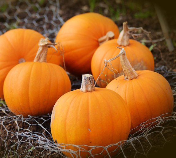 An assortment of medium-sized orange pumpkins on a mesh sheet over the soil