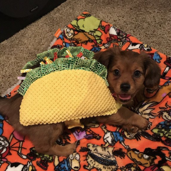 best-halloween-pet-costumes-taco