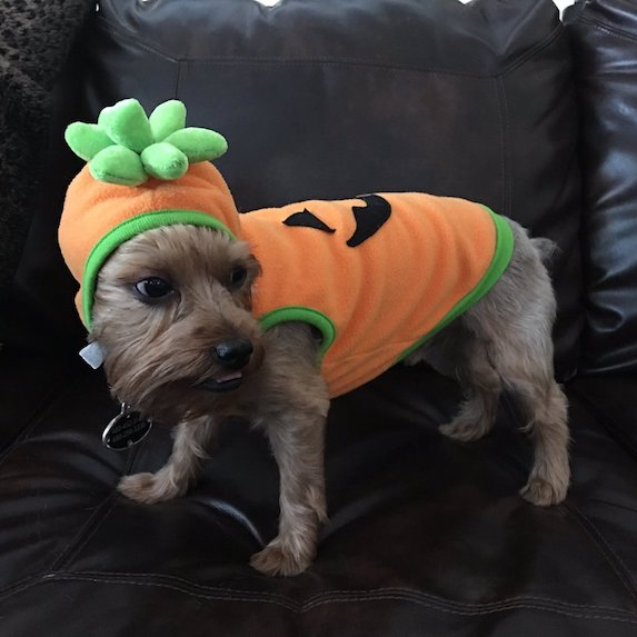 best-halloween-pet-costumes-pumpkin-dog