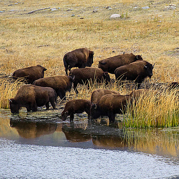 Bison at edge of water