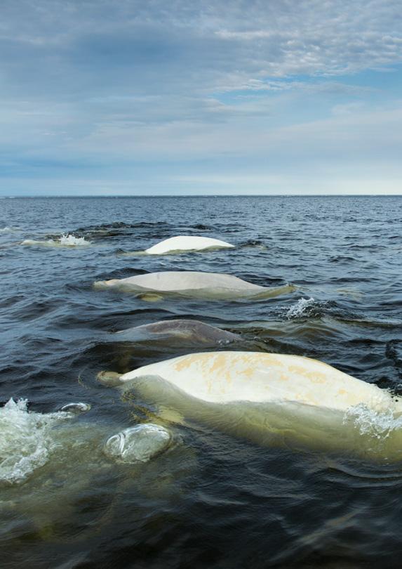 Whales in Churchill, Manitoba