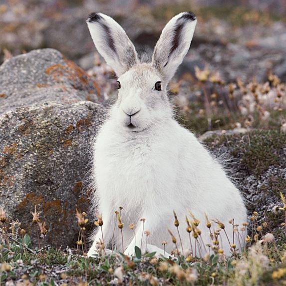 Arctic hare in bush