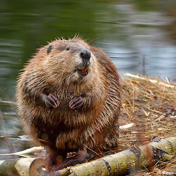Beaver standing on dam