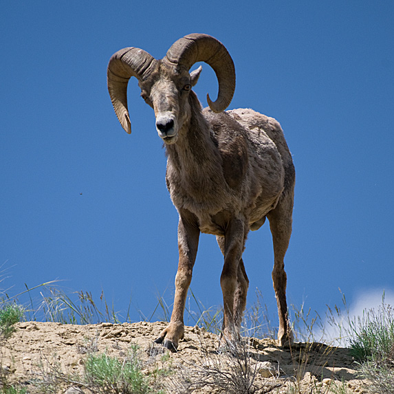 Bighorn sheep on mountain slope