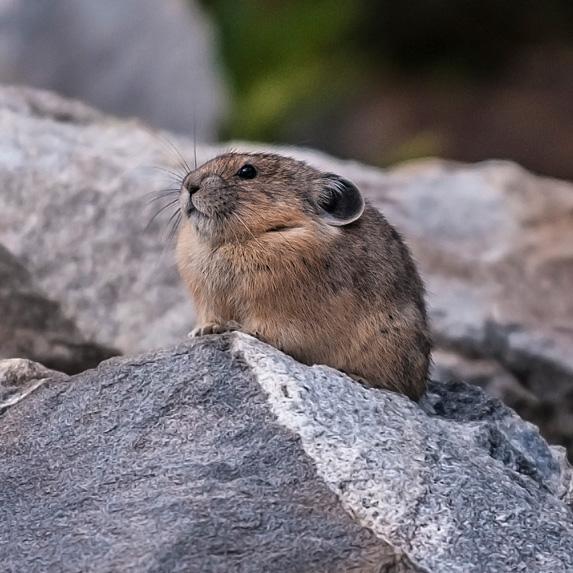 Collared pika on rock