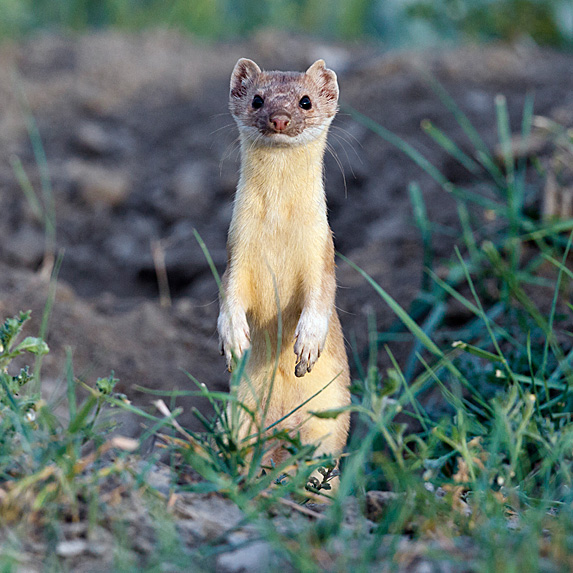Ermine standing on hind legs in grass
