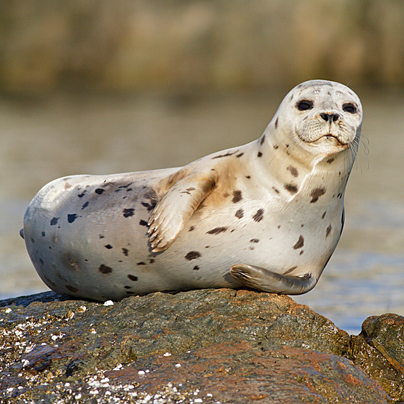 Harbour seal lying on rock