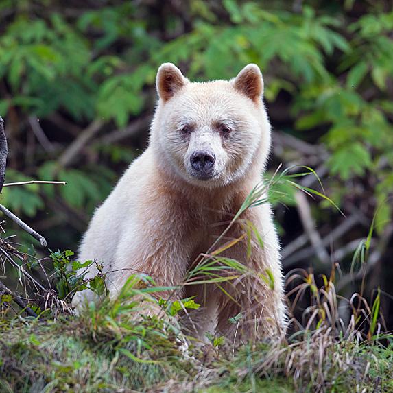 Kermode bear in forest