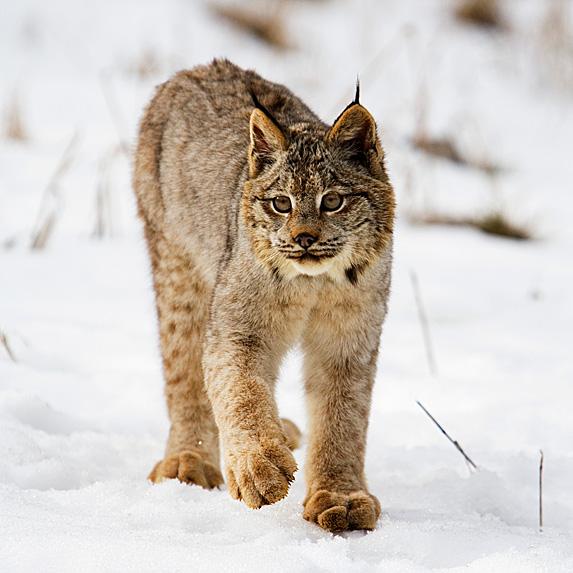 Lynx walking in snowy terrain