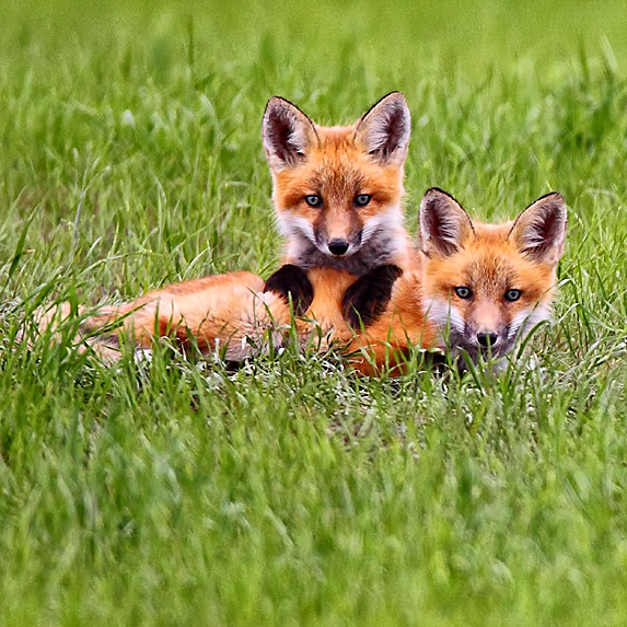 Two foxes lying in grass