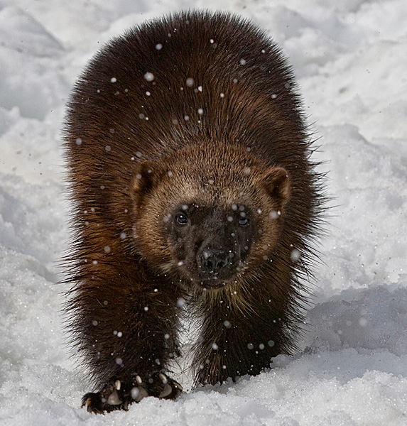 Wolverine on the prowl in snow