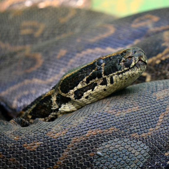African rock python coiled