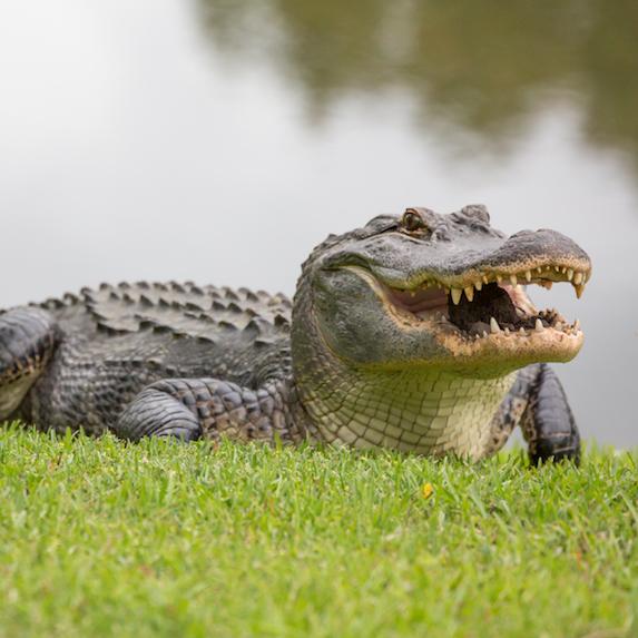 Alligator at side of river