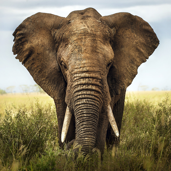Portrait of an African elephant in the grass