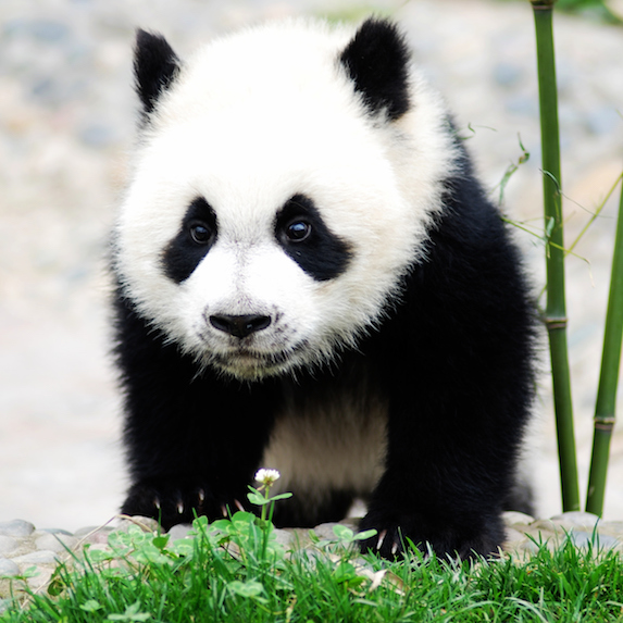 Baby panda bear in China