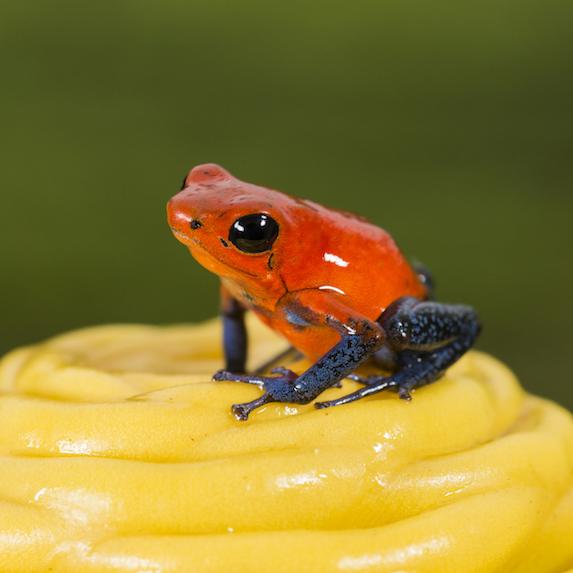 Strawberry poison-dart frog in Costa Rica