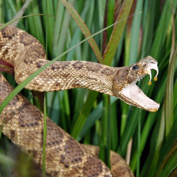 Rattlesnake in tall grass.
