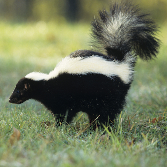 Skunk lifting its tail and spraying