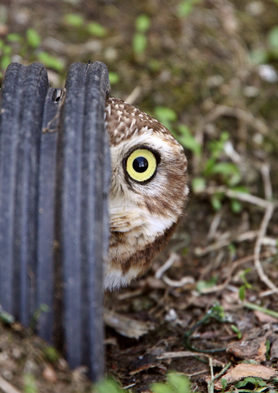 An owl peaking out from behind a pipe