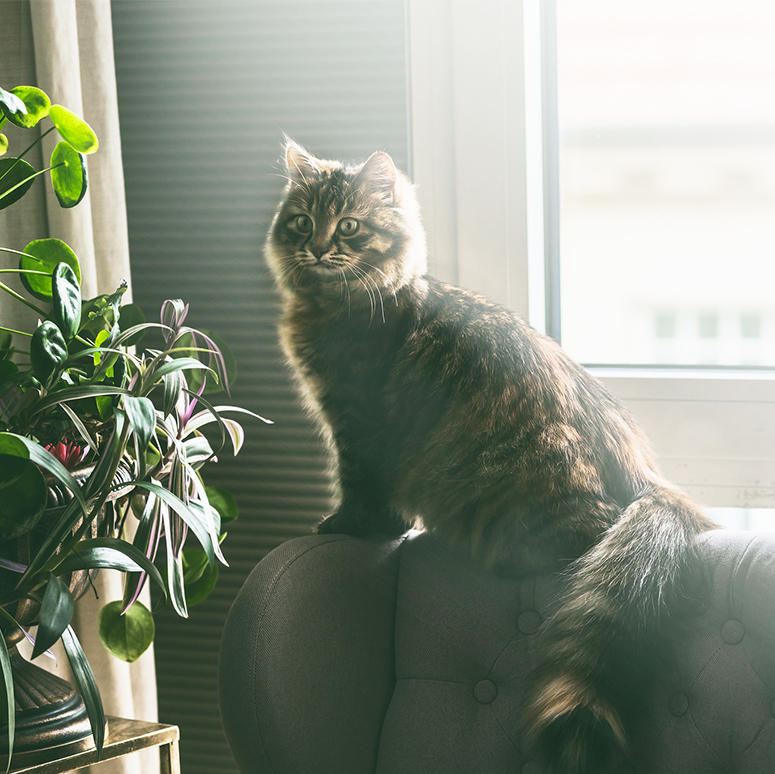 Fluffy Siberian cat sits on back of chair at window in living room